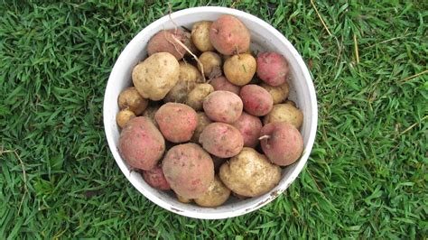 How To Make A Potato Barrel For Growing + Lbs Of
