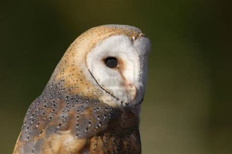 barn owl facts barn owl facts for animals time