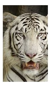 White Bengal Tiger Stock Footage Video (100% Royalty-free ...