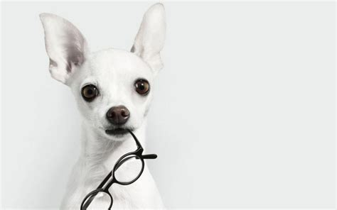 How to record with external microphone on android cell phone. white, Animals, Dogs, Glasses, Chihuahua, White, Background Wallpapers HD / Desktop and Mobile ...