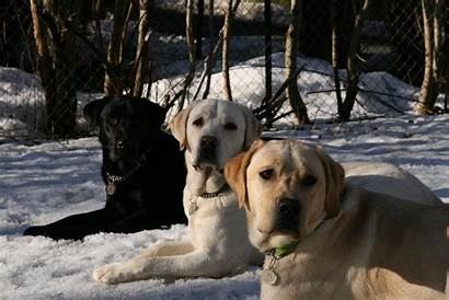 Labrador Retriever Wallpapers Puppy Lab Dog Desktop