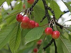 Planter Un Cerisier : planter un cerisier youtube ~ Melissatoandfro.com Idées de Décoration