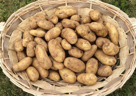 pommes de terre starlette nouvelles