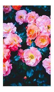 Download wallpaper 3840x2160 roses, flowers, pink, bloom ...