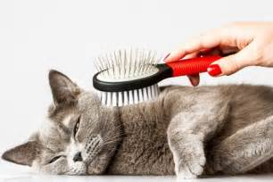 cat groomers an introduction to cat grooming argos pet insurance