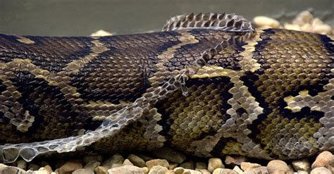 Snake Skin Shedding Use by 5 Reasons Why Getting Rid Of Snakes Is A Bad Idea