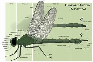 File Dragonfly Anatomy Svg