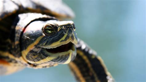 ear turtle what s a red eared slider pet turtles youtube