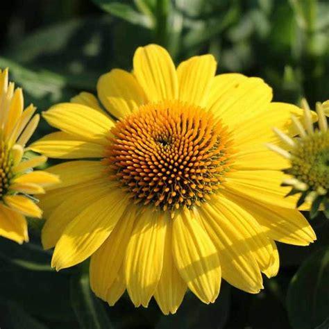 Sombrero Lemon Yellow Echinacea Plants for Sale ...