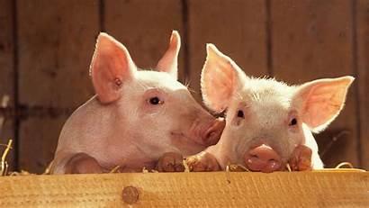 Pigs Wallpapers Wallpapersafari