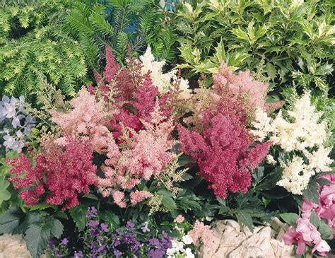 Astilbe arendsii, Astary® Mix, Perennial | Benary