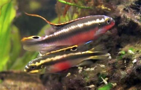 kribensis cichlid pelvicachromis pulcher tropical fish