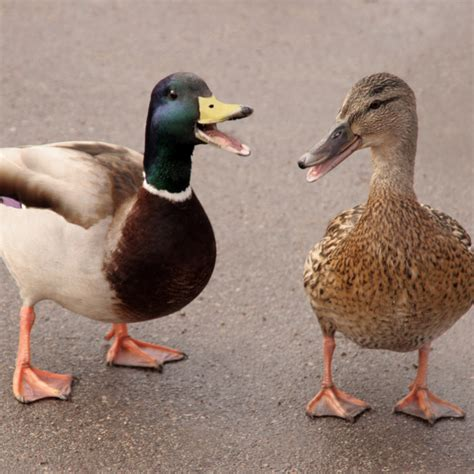 ducks quack dogs bark  cows moo science