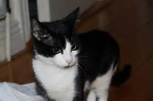 Black and White Cats Breeds