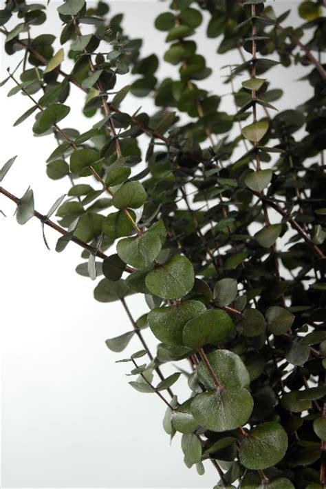 california eucalyptus  green branches natural