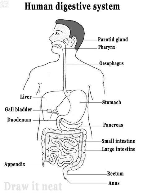 digestive system diagram draw  neat   draw human