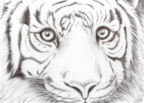 animal kingdom series wild cat drawing  bobbie