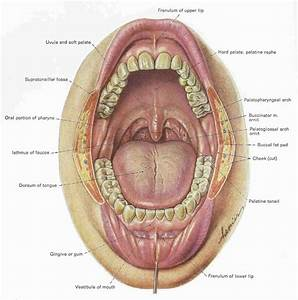 Mouth Teeth Diagram With Label