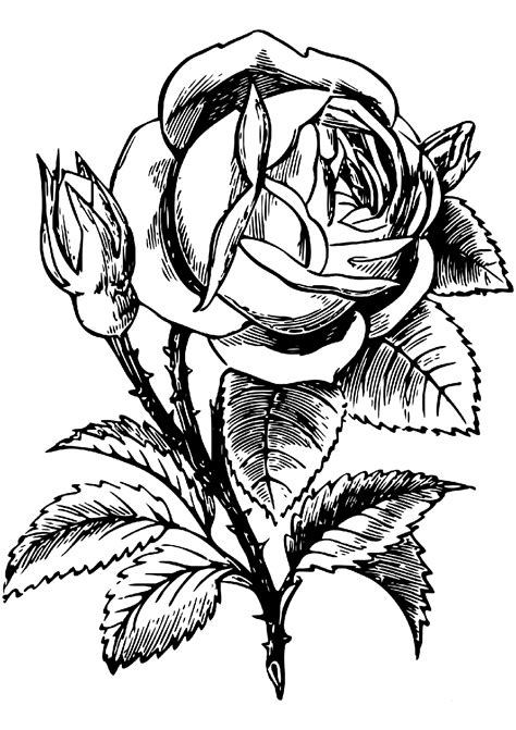 Free printable flower coloring pages for s 54. Rose Coloring Pages - Flower Coloring Pages - Coloring ...