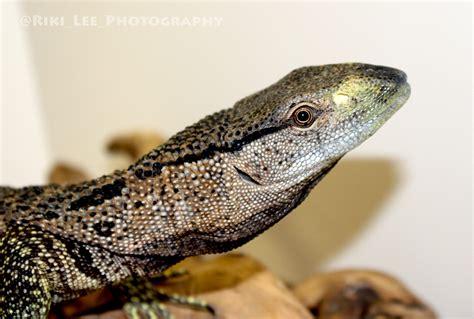 black throat monitor black throat monitors animal ark kingwood