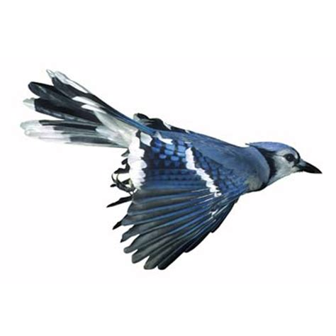 blue jays  birds eat   house
