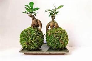 Bonsai Baum Arten : ficus arten feigen tipps zur pflege und gestaltung als ~ Michelbontemps.com Haus und Dekorationen