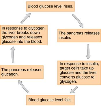 hypoglycemia  diabetes  testing studycom