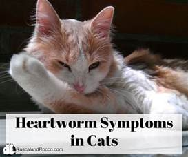 symptoms of worms in cats heartworm symptoms in cats what you need to