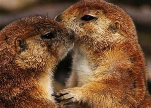 16 best Prairie Dogs Kissing & Hugging images on Pinterest ...