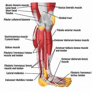 34 Tendons In The Body Diagram
