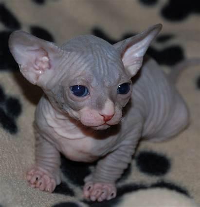 Sphynx Kitten Hairless Cat Cats Sphinx Kittens