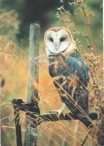 Dark Barn Owl