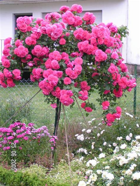kletterrose rosarium uetersen rosa rosarium