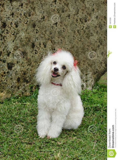 french poodle attentive stock photo image