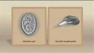 giardia in cats treating cat giardia with prescription medications and