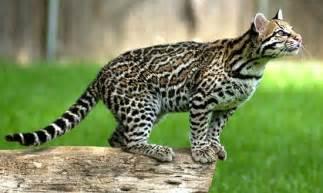 ocelot cat ocelot animal facts information the wildlife