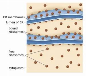 Free Ribosomes Diagram