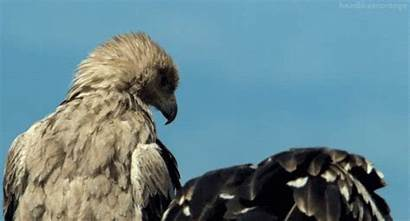 Vulture Gifs Bird Eagle Buzzard Animated Animals