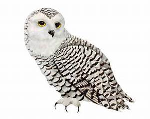 Arctic clipart snowy owl - Pencil and in color arctic ...