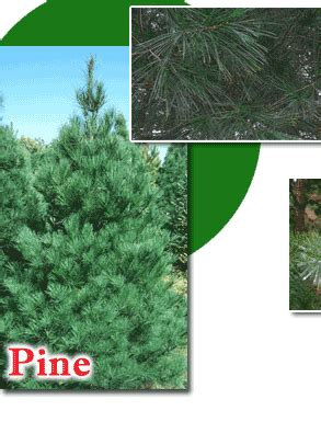 santa s evergreens tree farm christmas trees in hudson wi