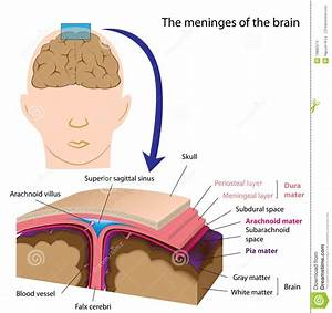 Meninges Of The Brain Stock Vector  Illustration Of