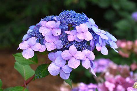 twist  shout hydrangea hydrangea macrophylla piihm
