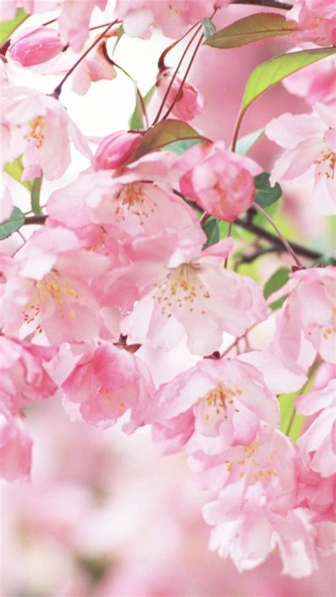 Soft cherry flower pink blossom. Wallpaper Cherry blossom petals pink spring 1920x1200 HD Picture, Image