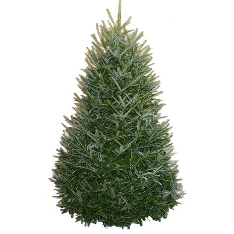 shop 7 ft to 8 ft fresh cut fraser fir christmas tree at