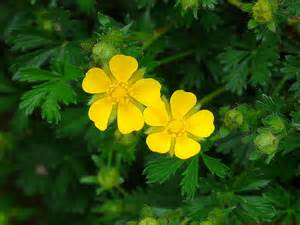 Photography of the Invisible World: Creeping Cinquefoil ...