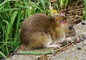 Ratten Bekämpfen Im Garten : ratten im garten bek mpfen ratgeber gartenpflege ~ Michelbontemps.com Haus und Dekorationen