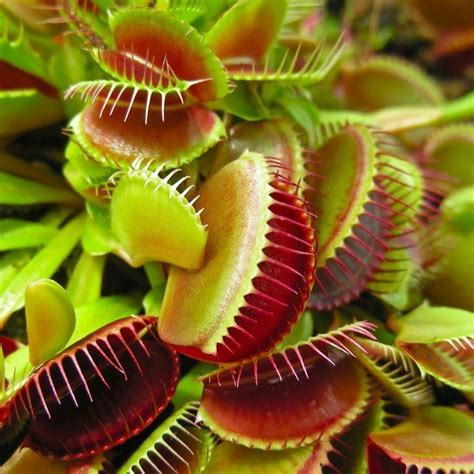 fly trap plant venus fly trap dionaea muscipula carnivorous plant