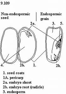 4th Grade Corn Seed Diagram