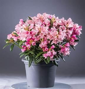 Kleinwüchsige Immergrüne Hecke : rhododendron dear barbara rhododendron yakushimanum dear ~ Lizthompson.info Haus und Dekorationen