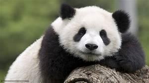 Baby Giant Pandas Wallpaper